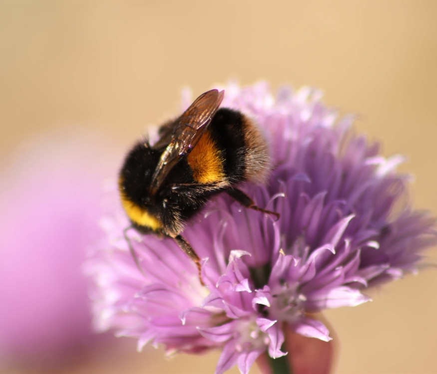 bees are important for biodiversity
